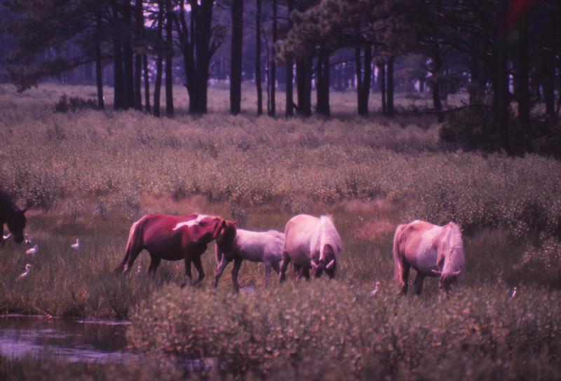 Chincoteague 1981-07 005.jpg
