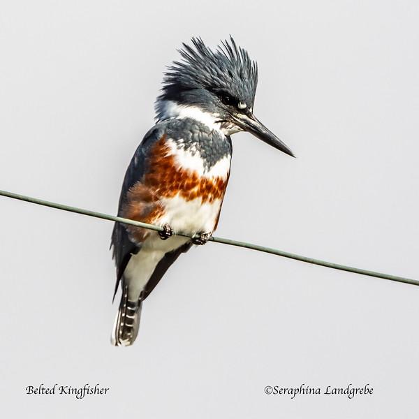 _DSC7875Belted kingfisher.jpg