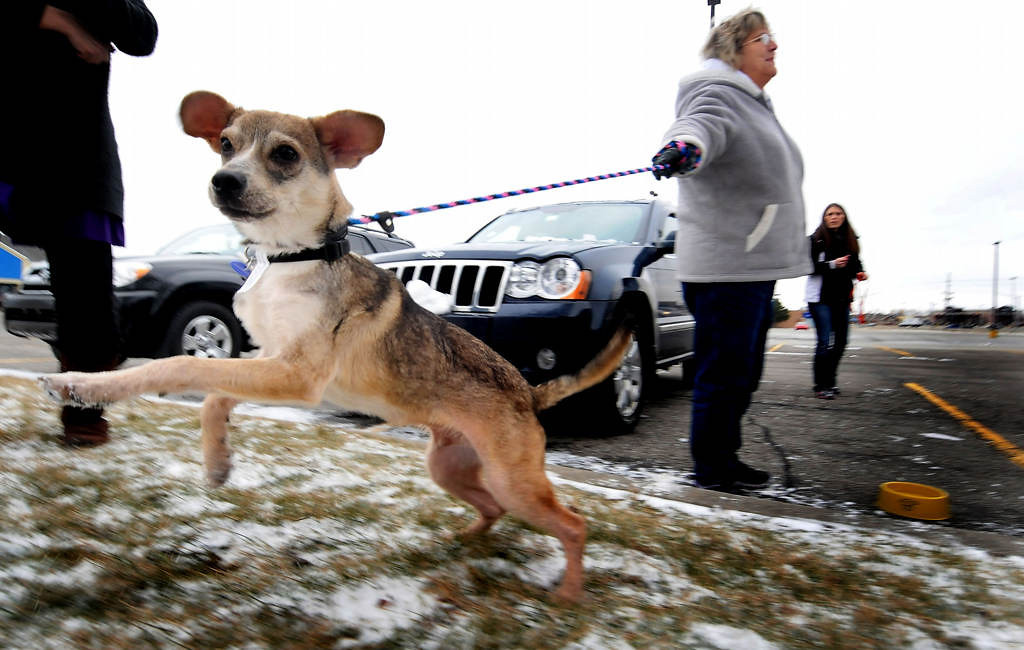 ". Volunteer Gwen Dubay holds the leash as Bandit greets another dog at a ""rest stop\"" transfer outside a McDonald\'s in Merrillville, Ind. Dubay is the mother of Transport Coordinator Tara Harris. (Pioneer Press: Sherri LaRose-Chiglo)"