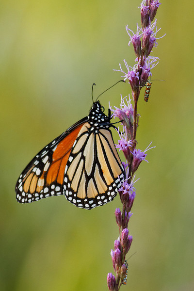 Monarch Butterfly & Ailanthus Webworm - Stop over to feed