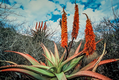 South African Aloes