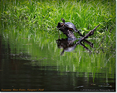 Suwannee River Cooter Turtle