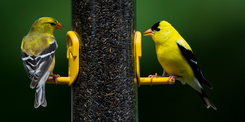 Goldfinch_Panorama.jpg