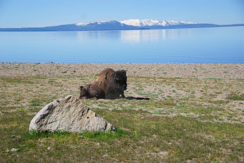 Bison near Yellowstone Lake