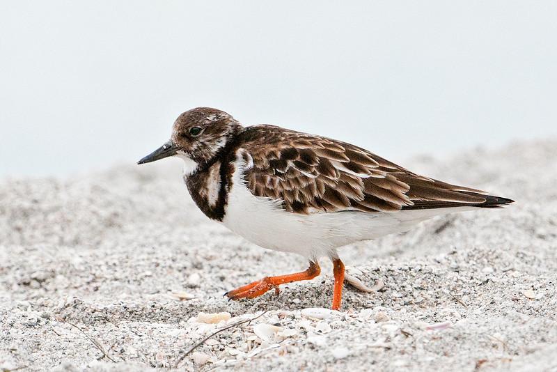 Turnstone - Ruddy - Ding Darling NWR - Sanibel Island, FL