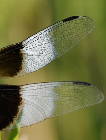Libellula luctuosa (Widow Skimmer)