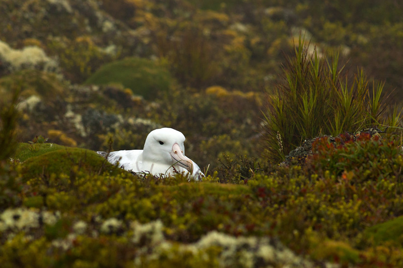 Southern Royal Albatross