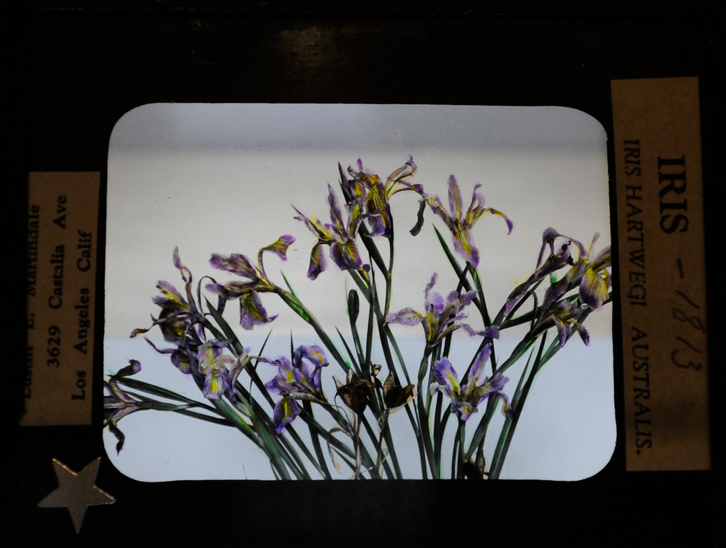 ". This hand-painted glass slide by Lustin Martindale shows a San Bernardino Mountain Iris.""When they were wild,\"" is the Huntington Library\'s new Wildflower exhibition which kicks off a month of talks, workshops and wildflower sales. San Marino, CA 3/8/2013(John McCoy/Staff Photographer)"