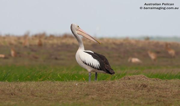 Pelicans Family Pelecanidae