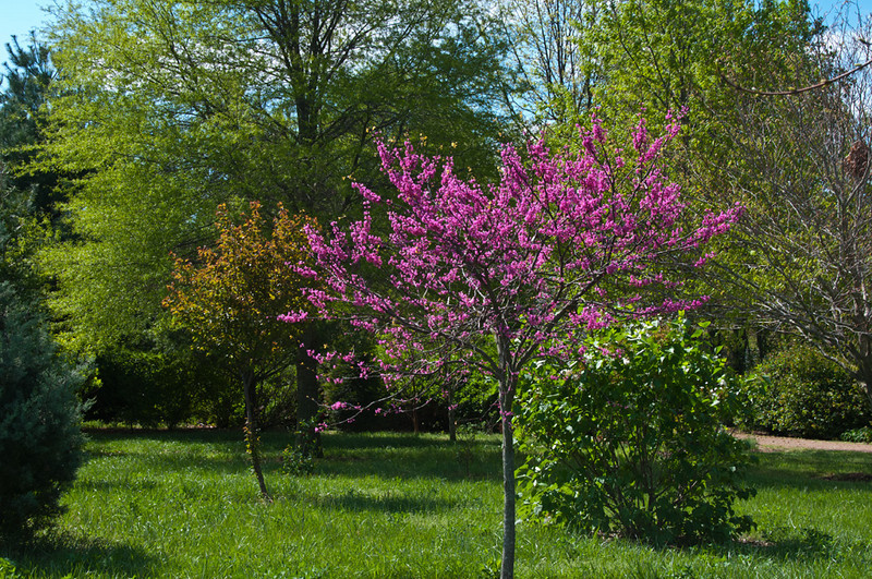 Cercis 'Appalachian Red' my favorite new red bud.  It blooms day glow pink... not lavender, after the other red buds are finished.