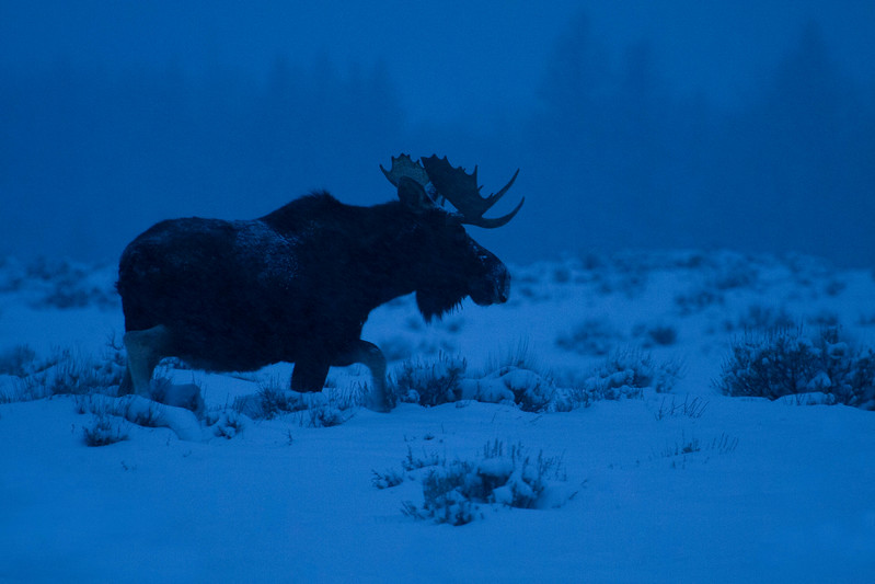 Bull moose at dawn, Grand Teton National Park