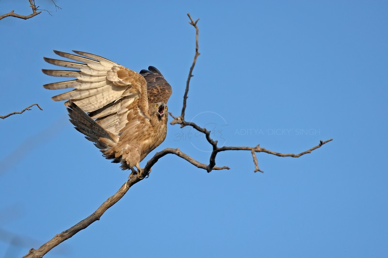 Oriental Honey Buzzard ready to attack in Ranthambhore with blue sky background