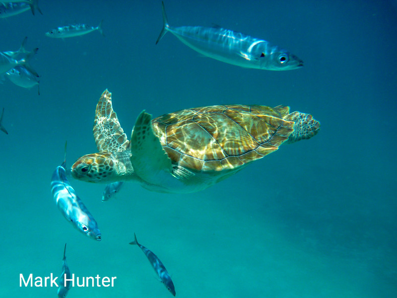 Green Turtle Swimming with Fish in the Caribbean