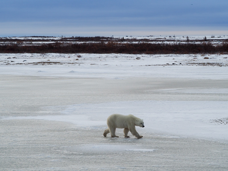 Polar bear on a frozen lake