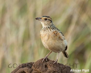 African Pipit, Kenya