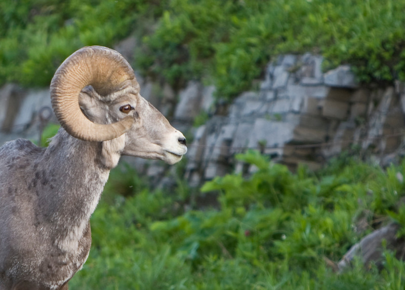Big Horn Sheep in Glacier National Park