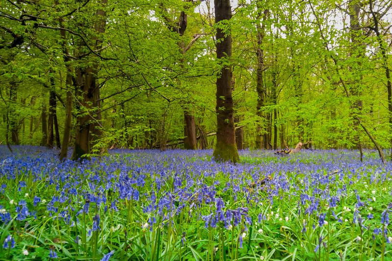bluebellwoods-5.jpg
