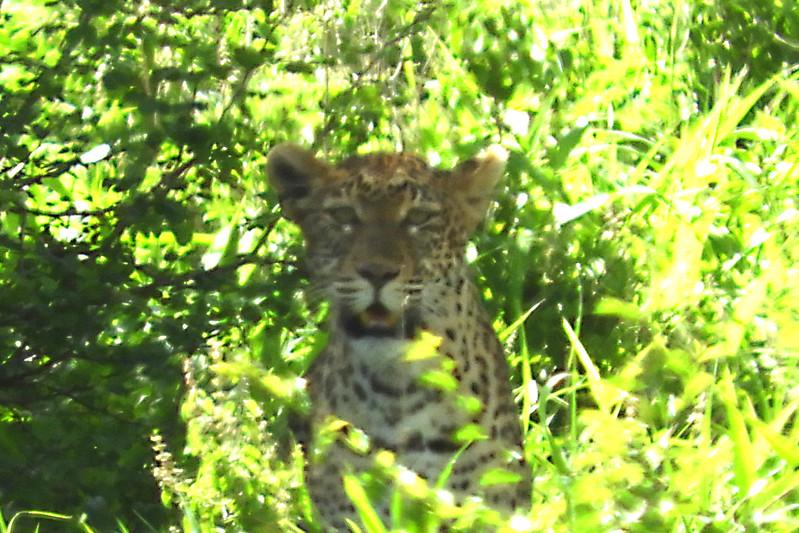 Leopard DSCN0329.jpg