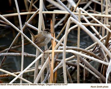 MarshWren13147.jpg