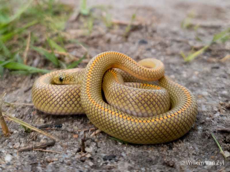 20190810 Aurora House Snake (Lamprophis aurora) from Richwood, Western Cape