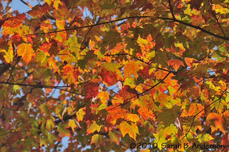 Fall maple colors along Lindy Point Trail Blackwater Falls State Park, WV  October 2010 Nikon D300, Nikon 18-200 vr