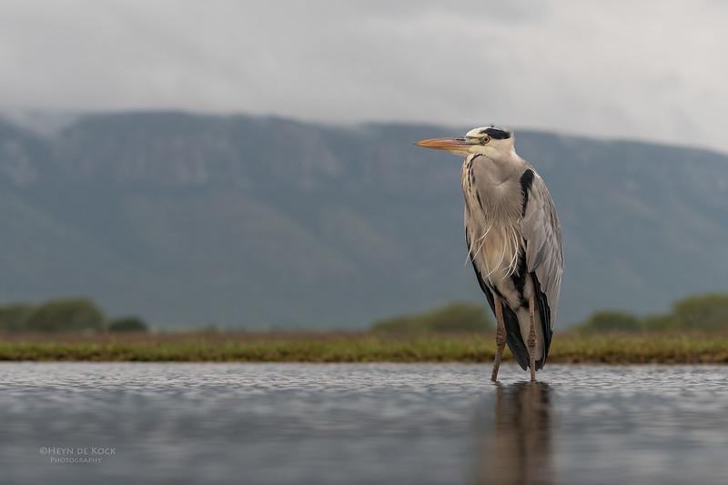 Grey Heron, Zimanga, South Africa, May 2017-10.jpg