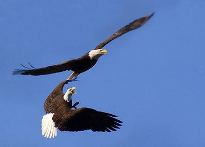 Bald Eagles from Llano, TX