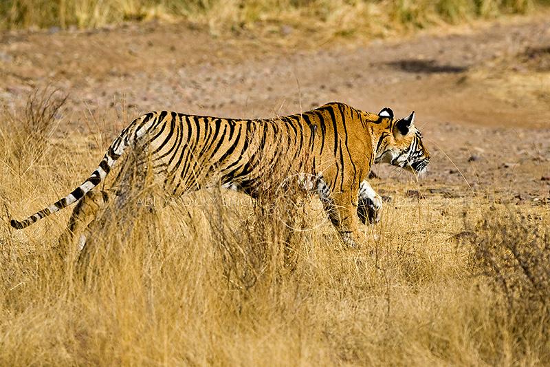 charging tiger
