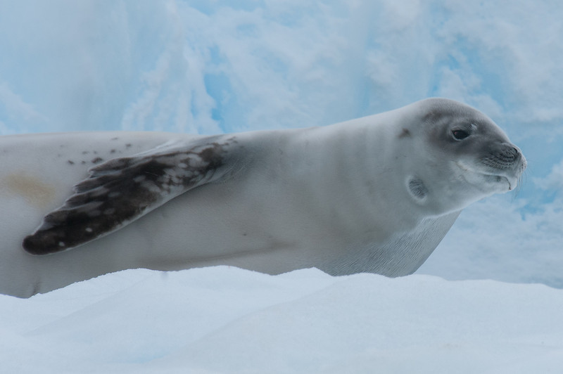 Crabeater seal in Paradise Bay