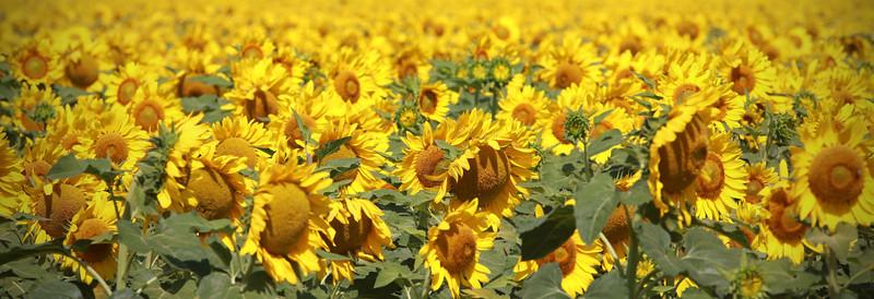 Sunflower Pics