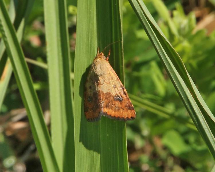 Lupatus Straw Moth (11073.1: Heliocheilus lupatus)