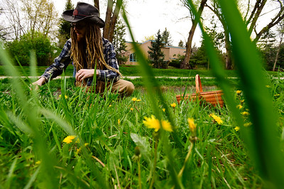 In heart of spring, Boulder sprouts dandelion devotees