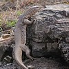 Bengal monitor (Varanus bengalensis) or Common Indian Monitor lizard in Ranthambore