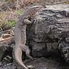 Bengal monitor (Varanus bengalensis) or Common Indian Monitor lizard in Ranthambore