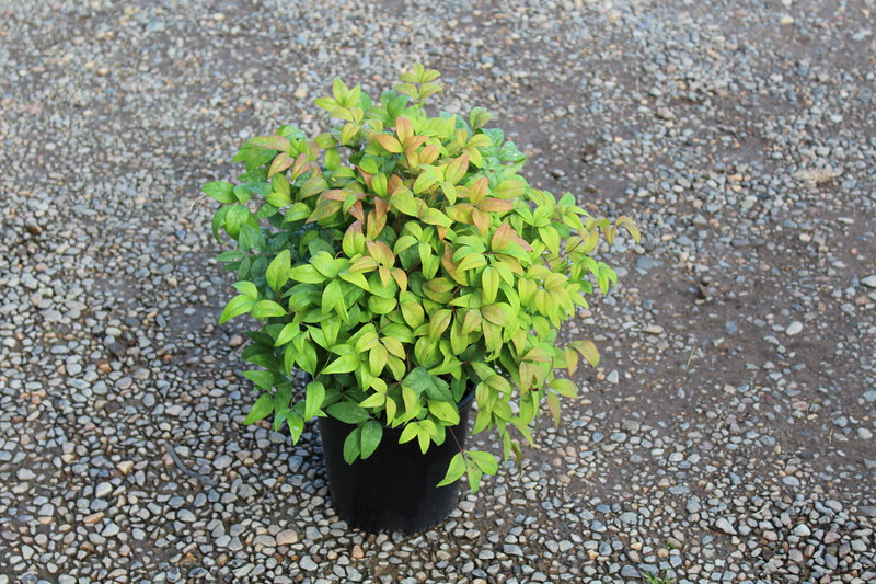 Nandina d. 'Fire Power' #2.JPG