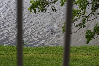 Gator sighting, Pembroke Pines, Fla., 6/7/13