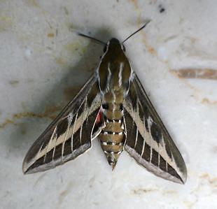 Hyles livornica