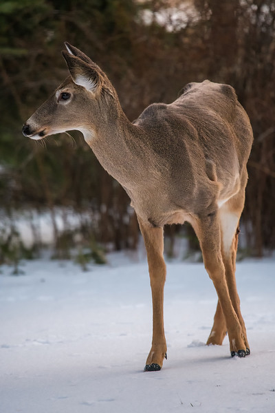 deer in the yard 2.jpg