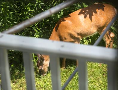 Doe a deer visit - 27 Jun 2017 - 1:32 PM