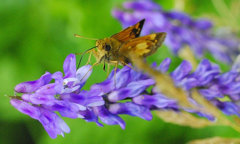 Maine Butterfly.jpg