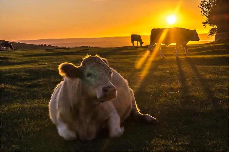 500 Lying Cow_1004-Edit.jpg