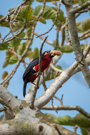 Barbet, Double-toothed