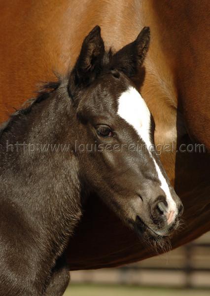 Cloverleaf Repent foals Repent-Hi Tech Honey Comb 2005 colt dob 2/2/05