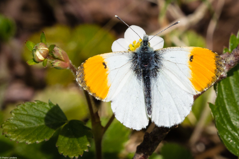 Orange Tip On Strawberry Flower