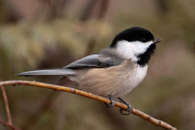 Chickadee - Black-capped - Sax Zim bog - MN - 05