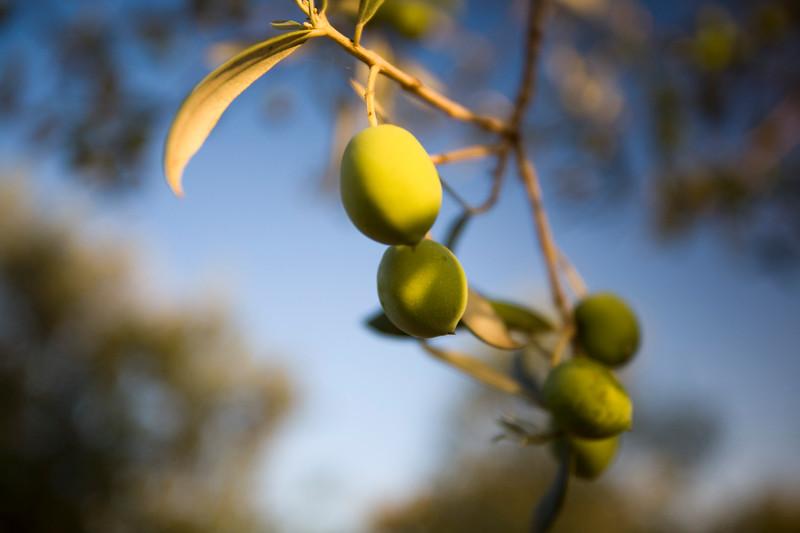 Olives on the tree, Faro, Portugal