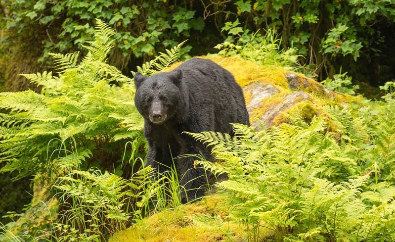 Anan black bear_.jpg