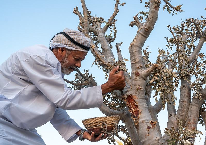 Thamrait 091 - frankincense - Dhofar.jpg