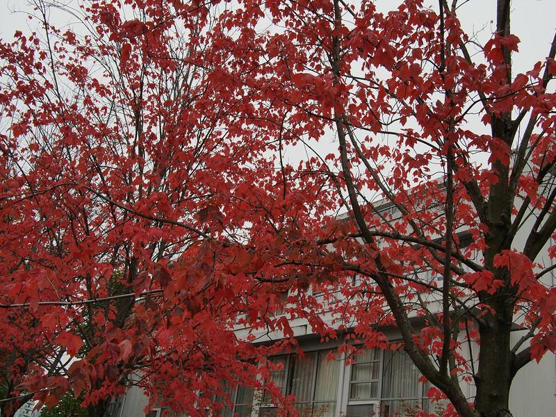 Oct. 19/13 - Fall trees on Granville Island