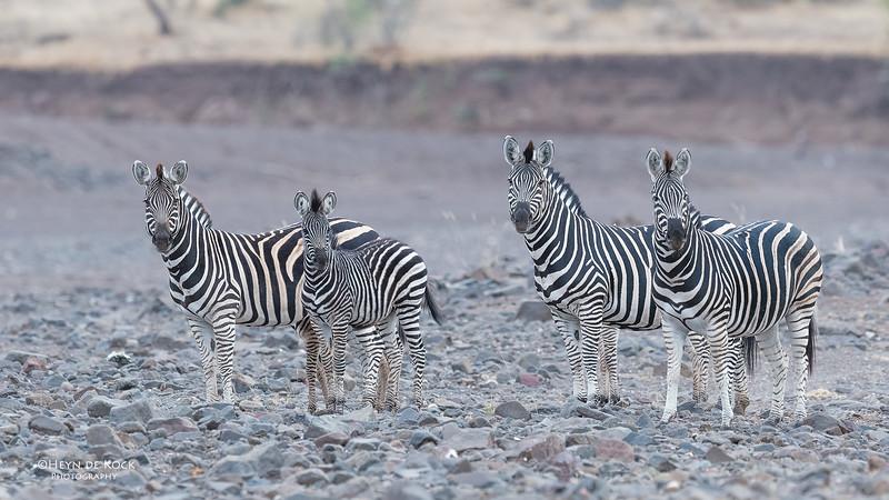 Burchell's Zebra, Mashatu GR, Botswana, May 2017-2.jpg